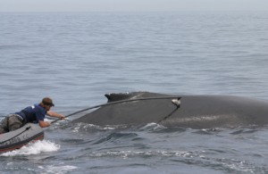 Since the 1970s, studies that involve attaching radio-tags to whales and other wild animals have been subject to rigorous ethical and environmental regulations. Photograph by Brandon Southall. Courtesy U.S. National Oceanic and Atmospheric Administration.