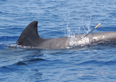 Biopsy darting is now a commonly used technique, but it remains controversial, particularly when used to study whale populations that are closely observed by tourists and local residents. Photograph by Wayne Hoggard. Courtesy of the U.S. National Oceanic and Atmospheric Administration.